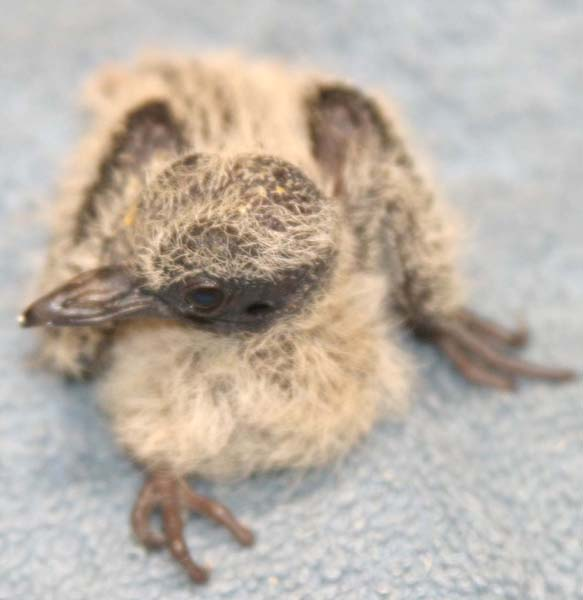 dove hatchling