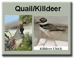 Quail and Killdeer