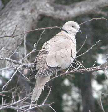 Eurasian Collared Doves Are An Introduced Species That Not Protected Under Federal Law They Ve Become Quite Common In The Phoenix Area Over Past