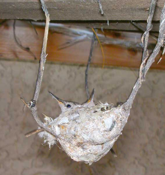 hummingbirds in nest