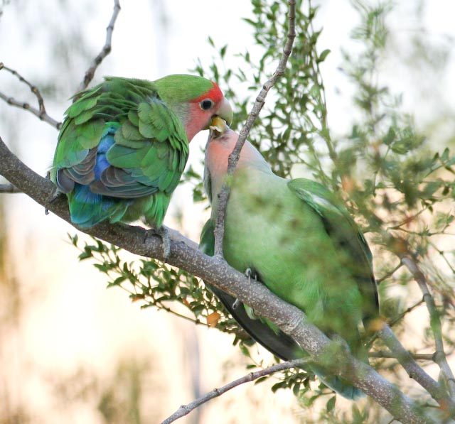 peach-faced lovebirds