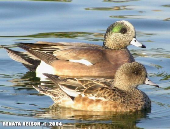 Wigeon duck hen - photo#13