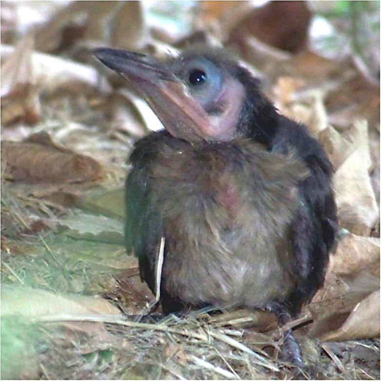fledgling grackle - photo #19
