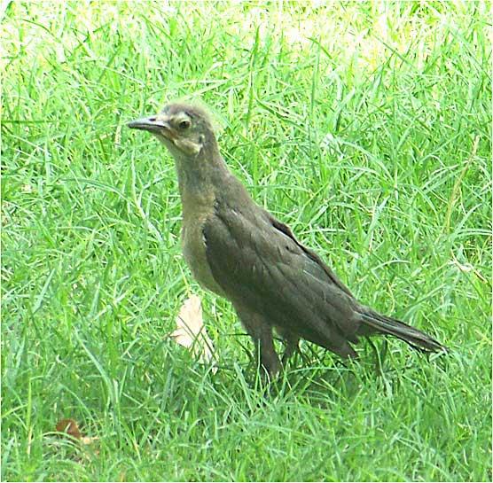 fledgling grackle - photo #27